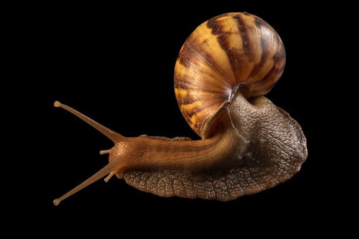 Photo: An African land snail (Achatina fulica) at Jurong Bird Park, part of Wildlife Reserves Singapore.
