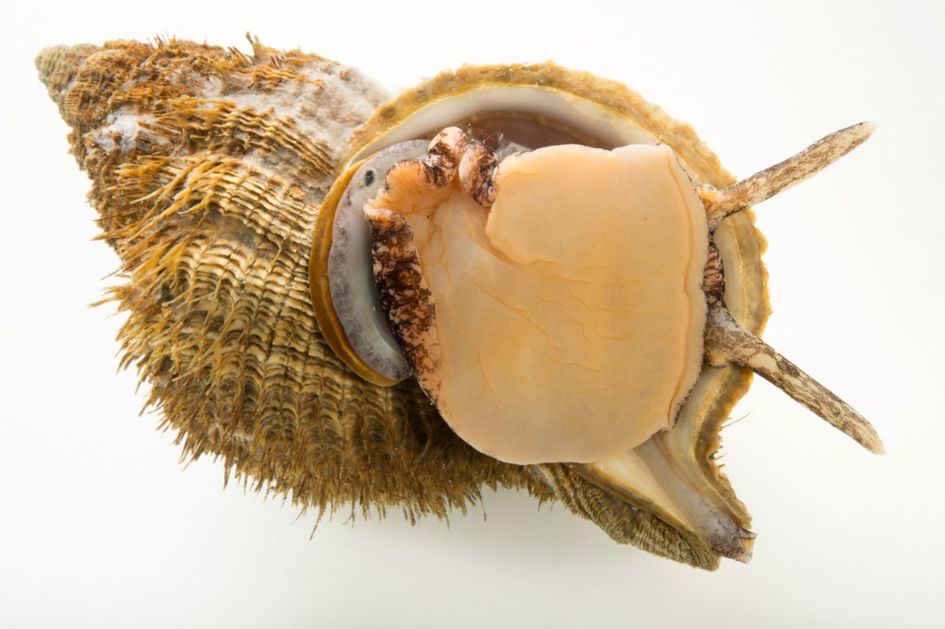 Photo: A hairy triton snail (Fusitriton oregonensis) at the Alaska SeaLife Center.