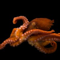 Photo: A female giant Pacific octopus (Enteroctopus dofleini) at the Alaska SeaLife Center in Seward, AK.