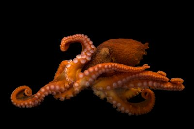 Photo: A female giant Pacific octopus (Enteroctopus dofleini) at the Alaska SeaLife Center in Seward, AK.