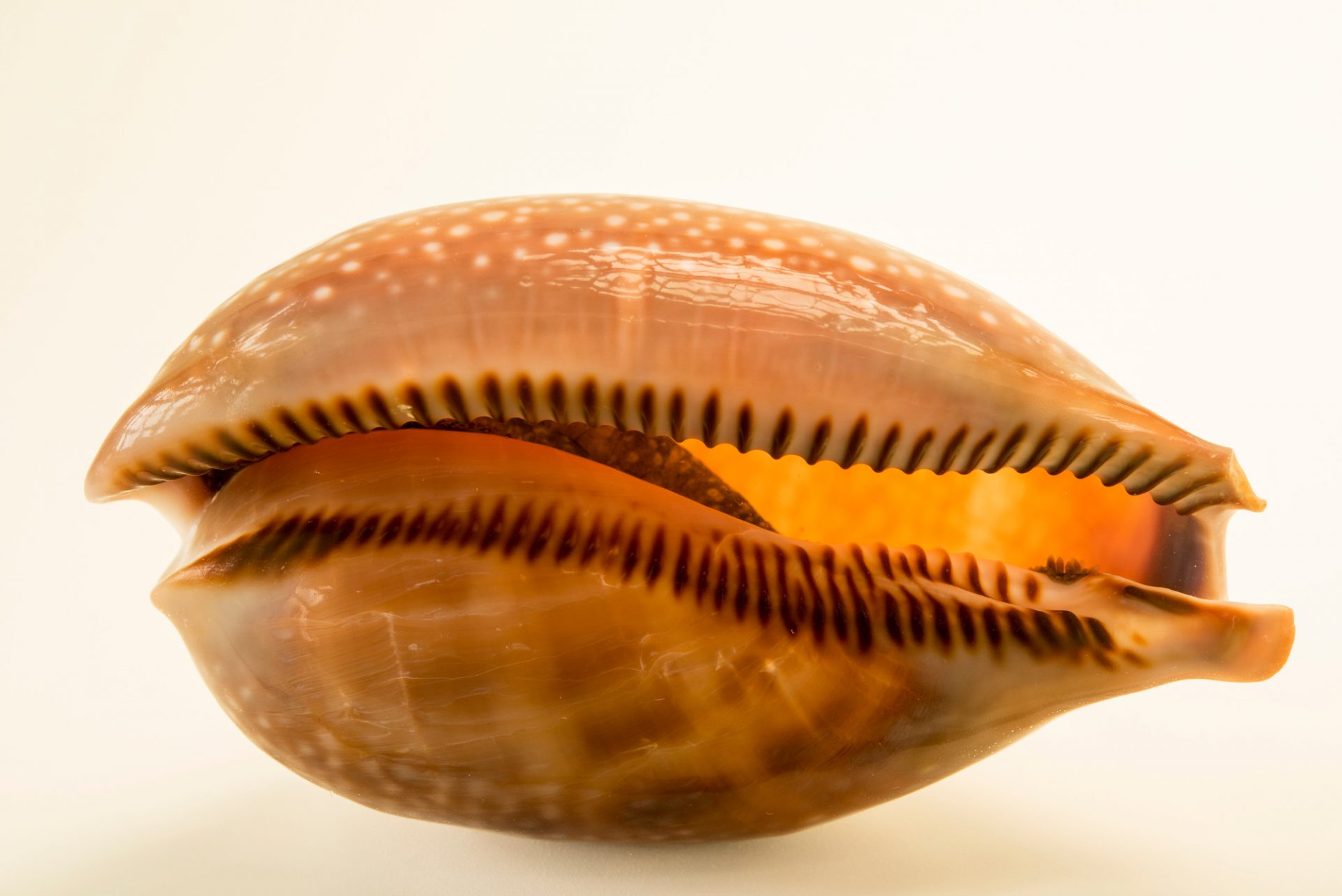 Atlantic deer cowry (Macrocypraea cervus) at Gulf Specimen Marine Lab and Aquarium.