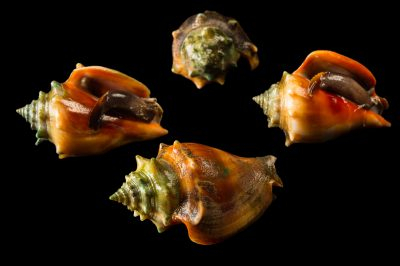 Photo: Fighting conches (Strombus pugilis) at the Conservancy of Southwest Florida.