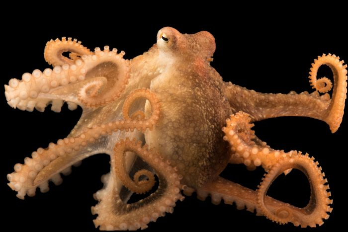 Photo: Red octopus (Octopus rubescens) at Aquarium of the Pacific.
