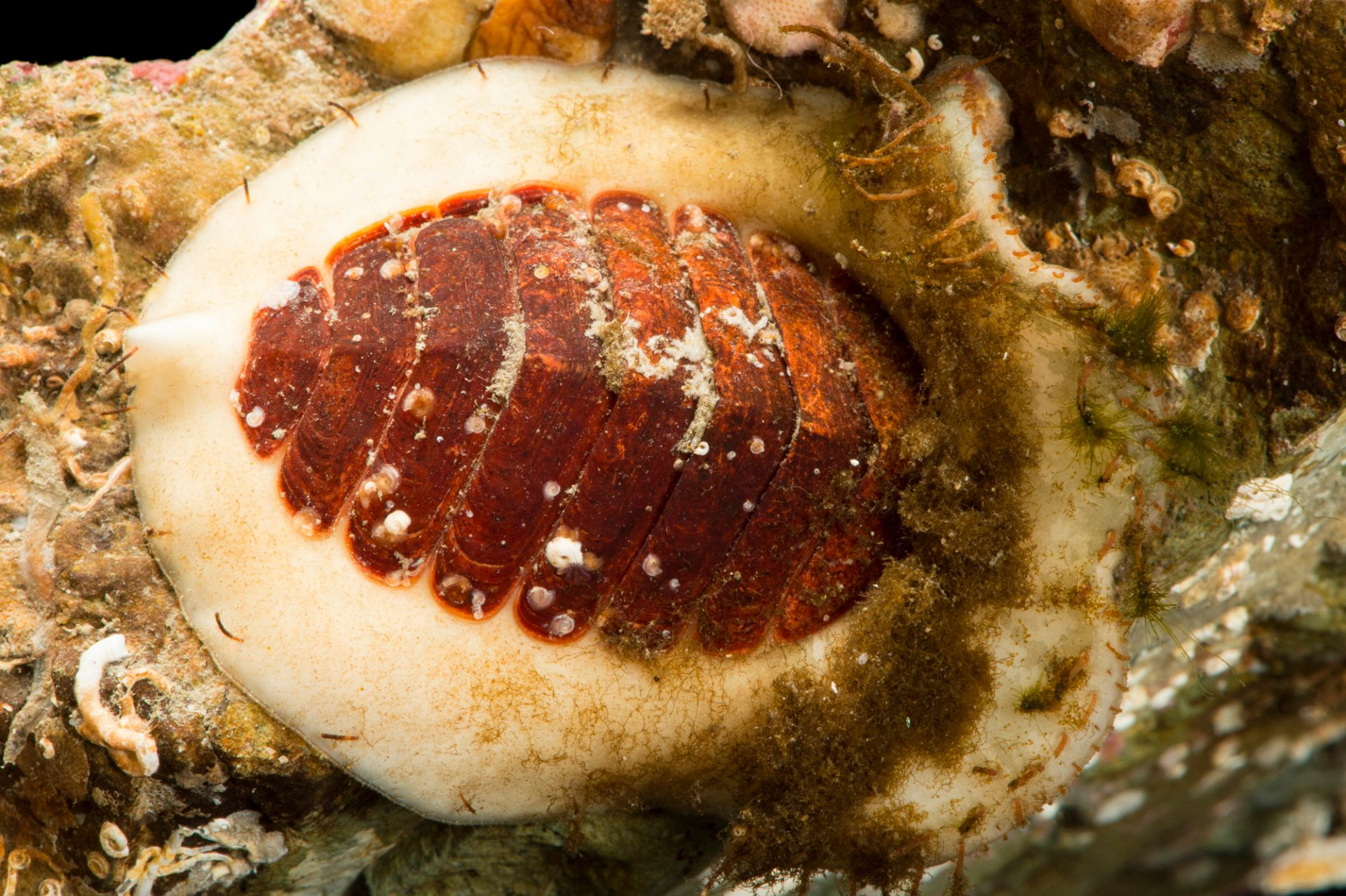 Photo: Red veiled chiton (Placiphorella rufa) at the Alaska SeaLife Center in Seward, AK.