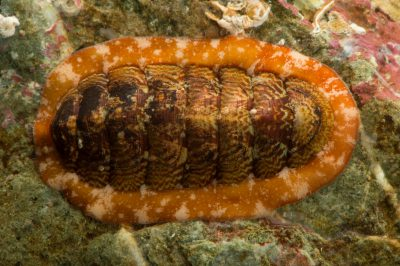 Photo: Northern chiton (Boreochiton beringensis) at the Alaska SeaLife Center in Seward, AK.
