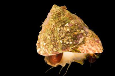 Photo: Red turban snail (Pomaulax gibberosus) at the Dallas Children's Aquarium.