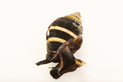 Photo: Bumblebee snail (Engina mendicaria) at the Dallas Children's Aquarium.