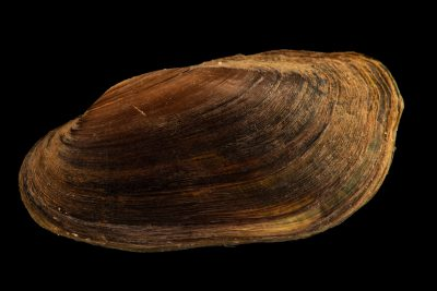 Photo: Pondmussel (Ligumia subrostrata) at the Minnesota Department of Natural Resources Center for Aquatic Mollusk Programs.