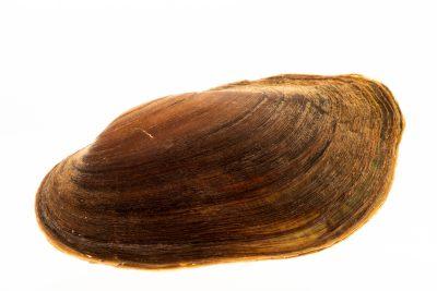 Photo: Pondmussel (Ligumia subrostrata) at the Minnesota Department of Natural Resources Center for Aquatic Mollusk Programs.
