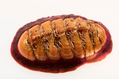 Photo: Lined chiton (Tonicella lineata) at the Trinity Western University.