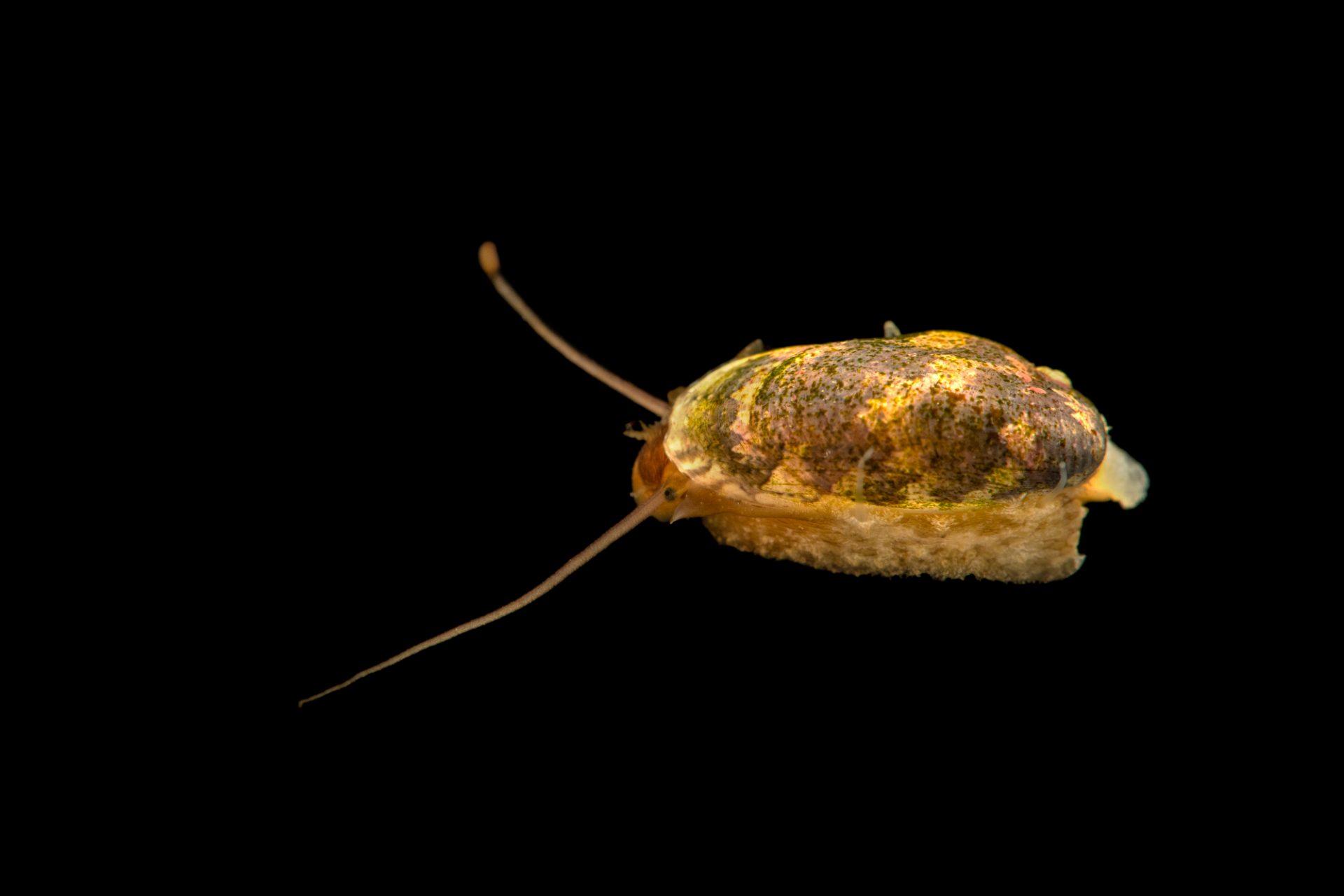Photo: Sea snail (Stomatella sp.) at Butterfly Pavilion.