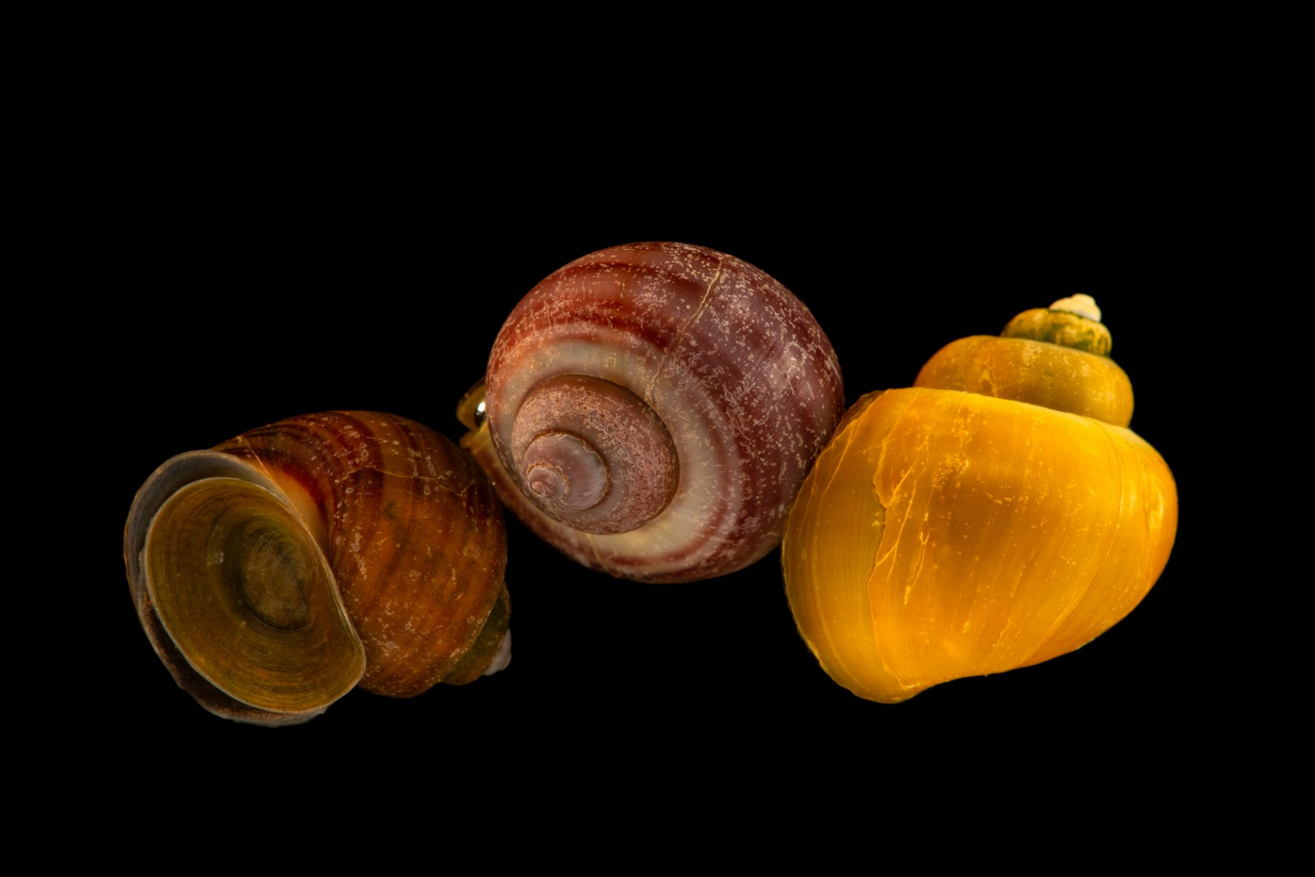 Photo: Spiked-top apple snail or mystery snail (Pomacea bridgesii) at Butterfly Pavilion.