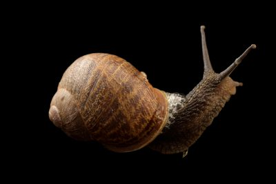 Photo: Garden snail (Cornu aspersum) at Graham's Quinta dos Malvedos Vineyard.