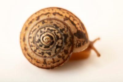 Photo: Snail (Portugala inchoata) at Graham's Quinta dos Malvedos Vineyard.