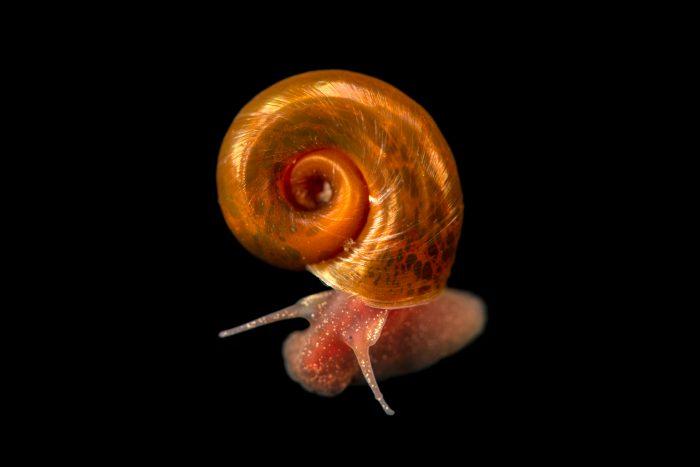 Photo: Unidentified snail at the Environmental Education Center of the Ribeiras de Gaia.