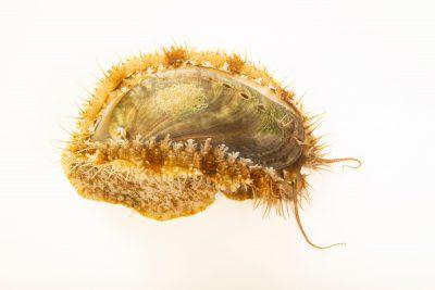 Photo: An ass's-ear abalone (Haliotis asinina) at Semirara Marine Hatchery Laboratory in the Philippines.
