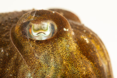 Photo: A European common cuttlefish (Sepia officinalis) at Riverbanks Zoo and Garden.