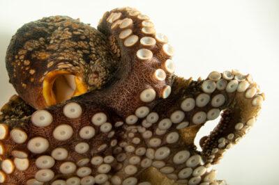Photo: A mudflat octopus (Octopus bimaculoides) at SeaWorld San Diego.