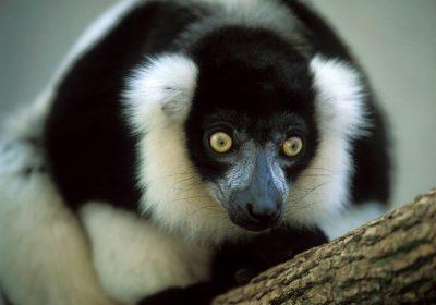 A critically endangered black-and-white ruffed lemur (Varecia variegata).