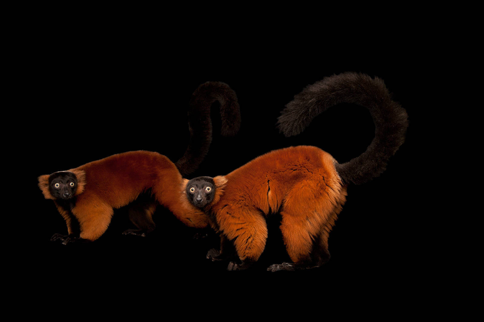 Picture of endangered red ruffed lemurs (Varecia rubra) at the Miller Park Zoo.