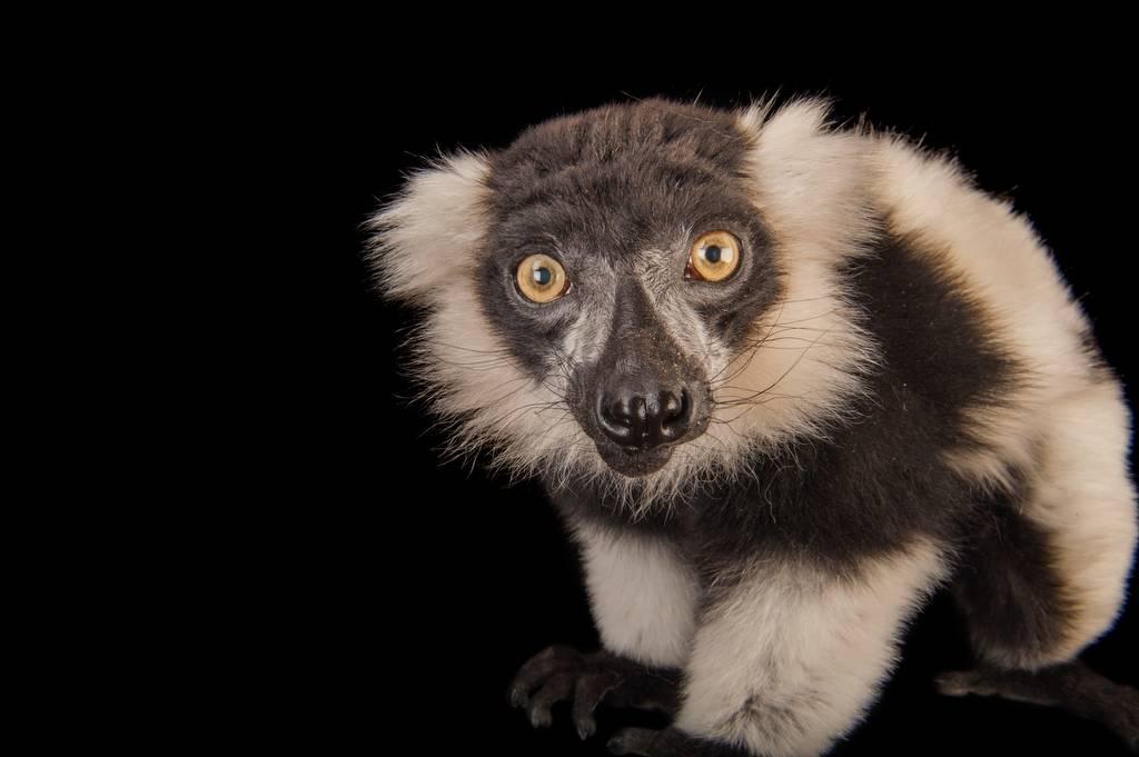Critically endangered (IUCN) black and white ruffed lemur (Varecia variegata) at the Lincoln Children's Zoo.