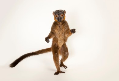 Picture of a vulnerable red collared brown lemur (Eulemur collaris) at the Omaha Zoo.