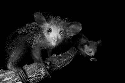 Endangered (IUCN) and federally endangered aye-ayes (Daubentonia madagascariensis) at the Omaha Zoo.