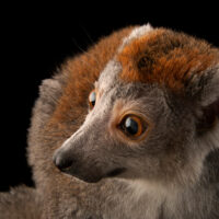 An endangered female crowned lemur (Eulemur coronatus) at the Cleveland Metroparks Zoo.