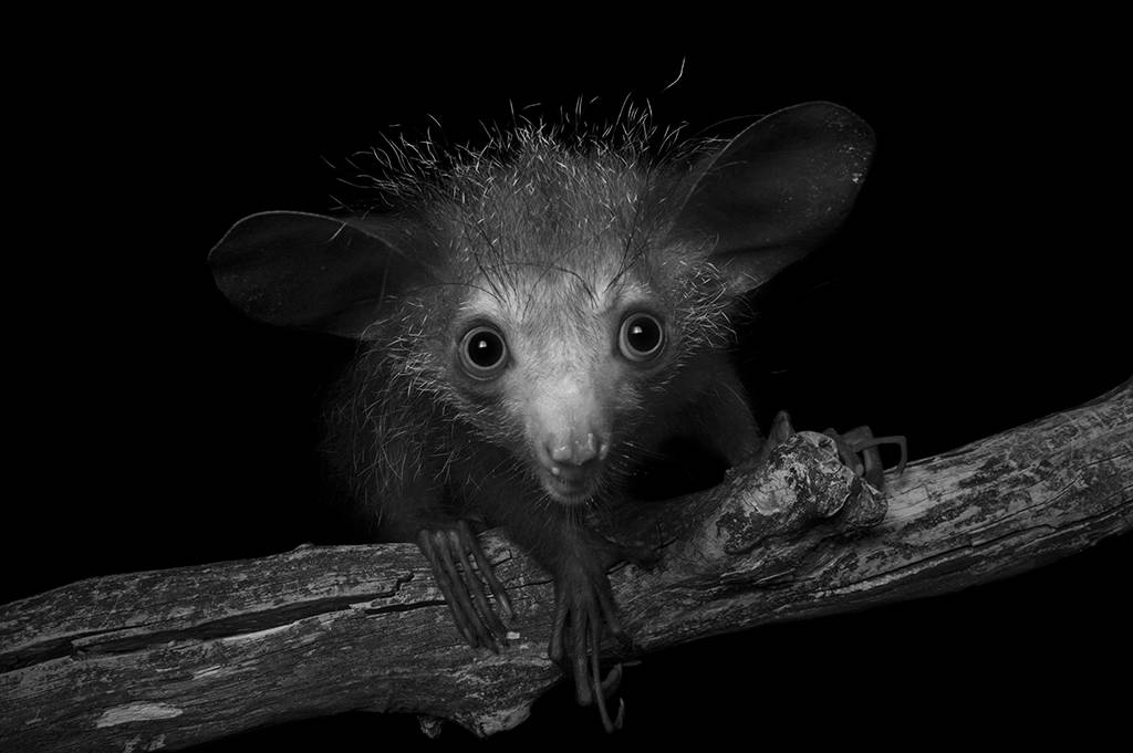 An endangered (IUCN) and federally endangered aye-aye (Daubentonia madagascariensis) at the Omaha Zoo.
