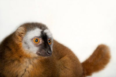 Photo: A red-fronted lemur (Eulemur fulvus rufus) named Beet at the Houston Zoo.