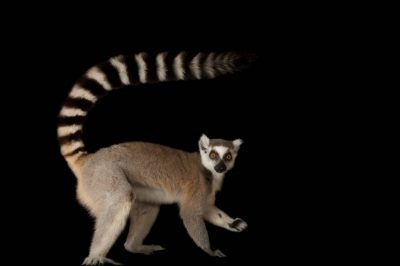 Ring-tailed lemur (Lemur catta) at the Lincoln Children's Zoo.
