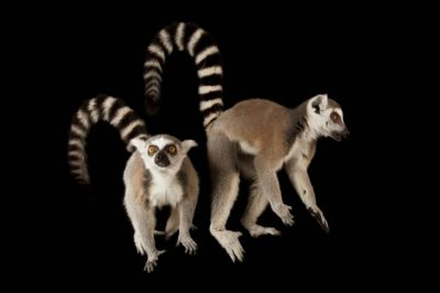 Ring-tailed lemurs (Lemur catta) at the Lincoln Children's Zoo.