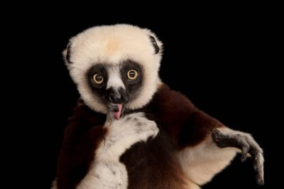 An endangered Coquerel's sifaka (Propithecus coquereli) at the Houston Zoo.