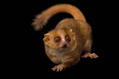 Picture of a gray mouse lemur (Microcebus murinus) at the Duke Lemur Center.