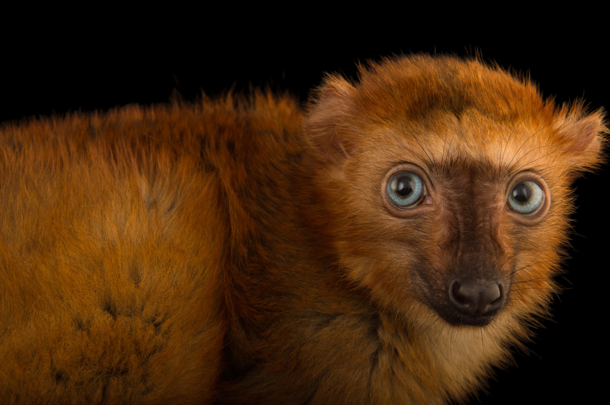 """Picture of a critically endangered blue-eyed black lemur (Eulemur flavifrons) named """"Poots"""" at the Duke Lemur Center."""