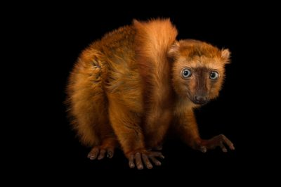 "Picture of a critically endangered blue-eyed black lemur (Eulemur flavifrons) named ""Poots"" at the Duke Lemur Center."