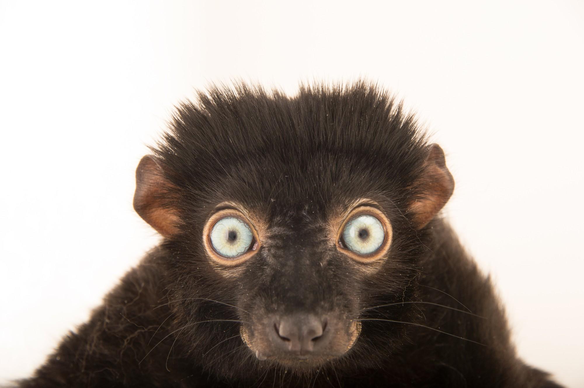 "Picture of a critically endangered blue-eyed black lemur (Eulemur flavifrons) named ""Presley"" at the Duke Lemur Center."