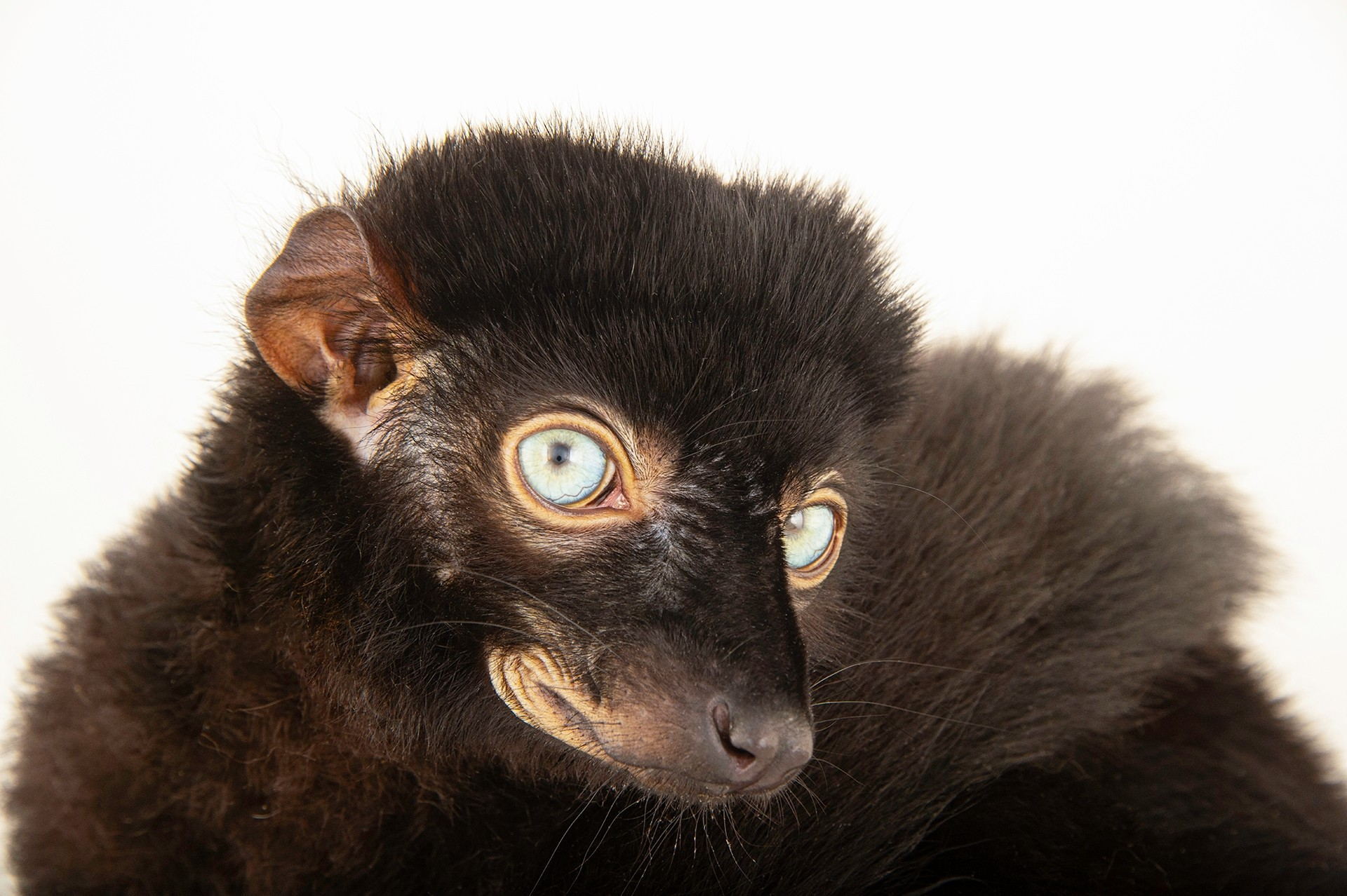 "Picture of a critically endangered blue-eyed black lemur (Eulemur flavifrons) named ""Presley"" at the Duke Lemur Center."