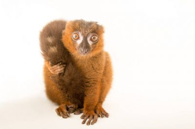 Picture of a vulnerable male red-bellied lemur (Eulemur rubriventer) named 'Iroquiois' at the Duke Lemur Center.