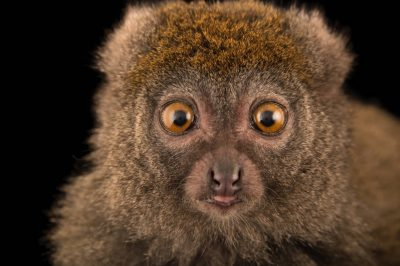Picture of a vulnerable Eastern lesser bamboo lemur (Hapalemur griseus griseus) named 'Beeper' at the Duke Lemur Center.