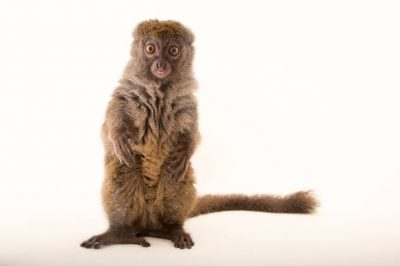 Picture of a vulnerable Eastern lesser bamboo lemur (Hapalemur griseus griseus) named 'Beeper' at the Duke Lemur Center.