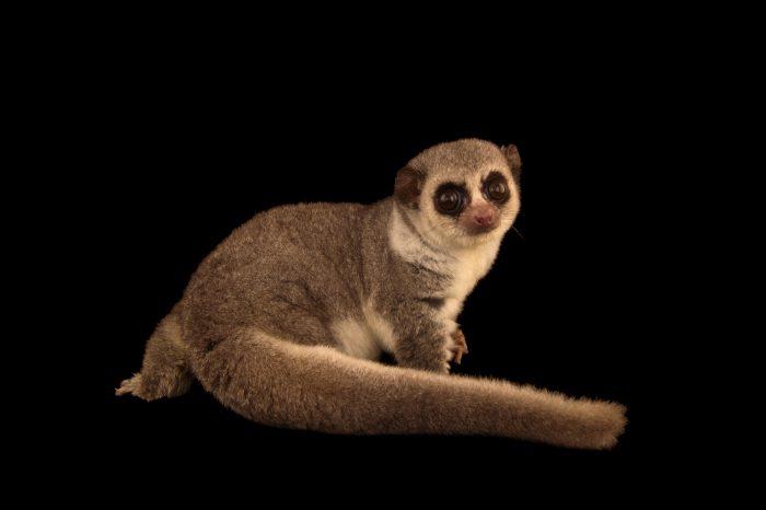 Photo: Western fat-tailed dwarf lemur (Cheiroqaleus medius) at the Duke Lemur Center.