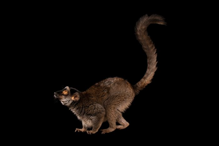 Picture of a common brown lemur (Eulemur fulvus) at Omaha's Henry Doorly Zoo and Aquarium.