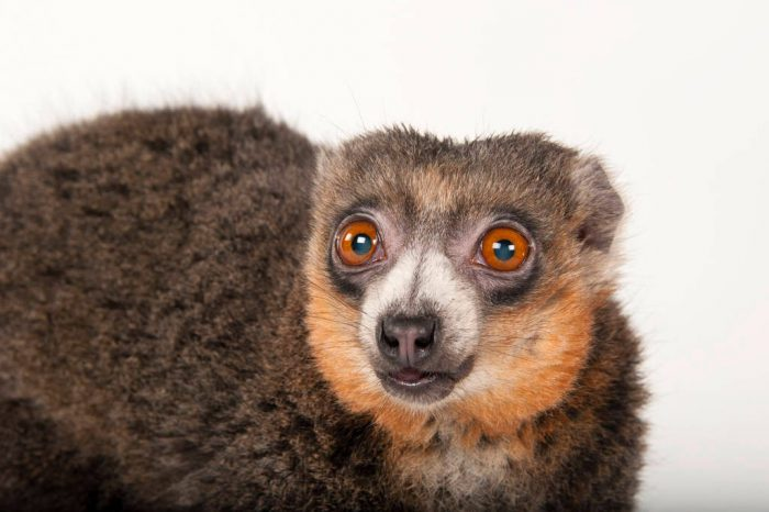 A critically endangered mongoose lemur (Eulemur mongoz) at Omaha's Henry Doorly Zoo and Aquarium.