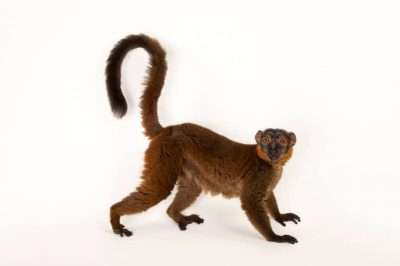Picture of a vulnerable collared brown lemur (Eulemur collaris) at Omaha's Henry Doorly Zoo and Aquarium.