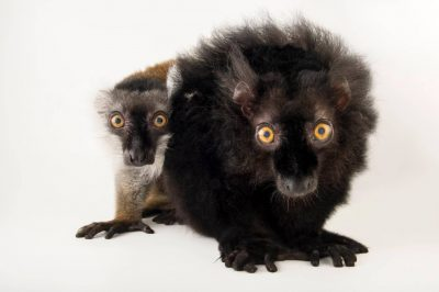 Vulnerable (IUCN) male and female black lemurs (Eulemur macaco) at the Saint Louis Zoo.