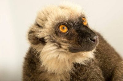 Picture of a male, endangered white-headed brown lemur (Eulemur albifrons) at the Naples Zoo.