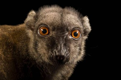 Picture of a female, endangered white-headed brown lemur (Eulemur albifrons) at the Naples Zoo.