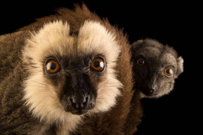 Picture of endangered white-headed brown lemurs (Eulemur albifrons) at the Naples Zoo.