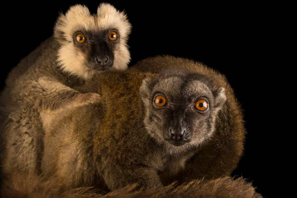 Picture of an endangered white-headed brown lemurs (Eulemur albifrons) at the Naples Zoo.